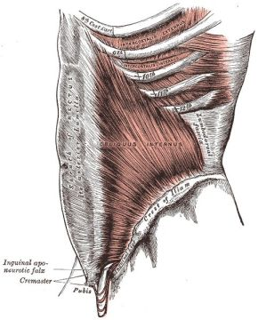 Anatomical image of the rectus sheath fascia