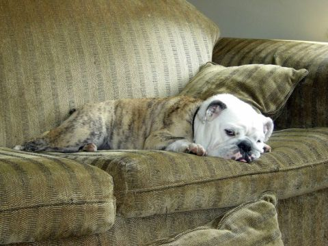 Dog resting on couch