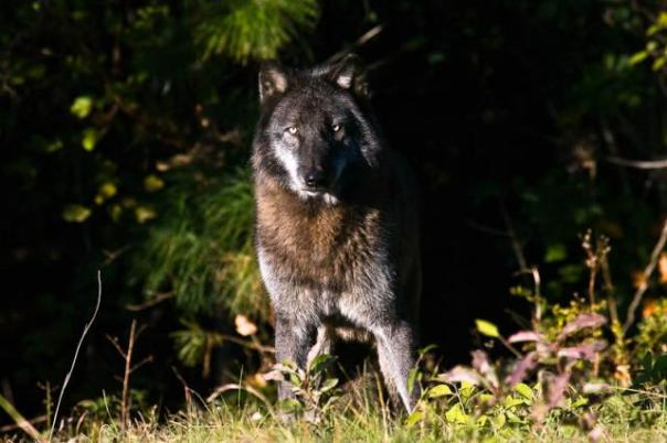 Timber Wolf _1 of 3_