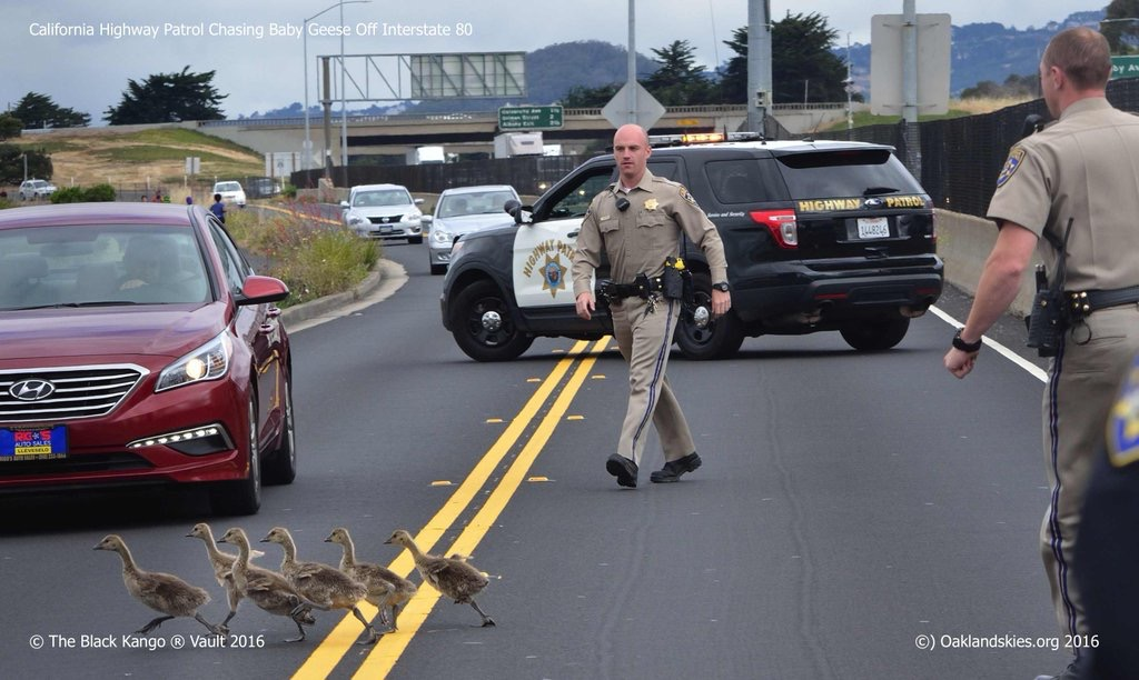 Flock of baby geese on I-80 corralled to safety by Oakland CHP