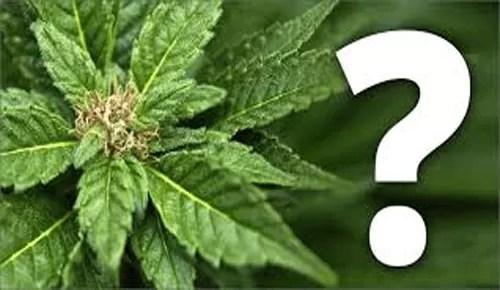 marihuana-what
