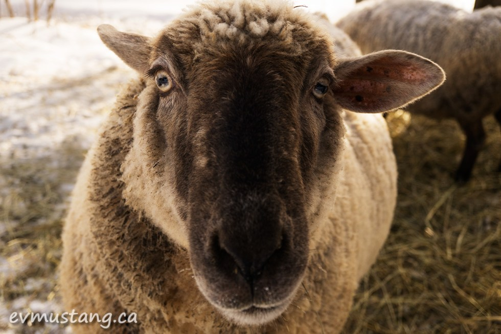 image of sheep face looking into the camera