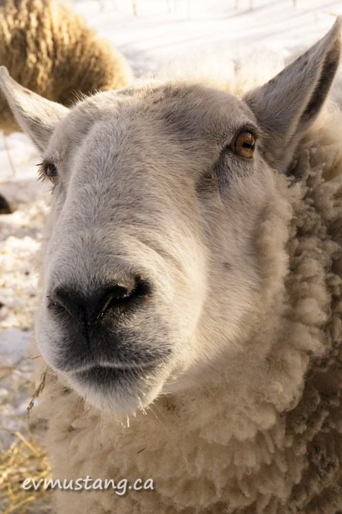 image of clover the ram looking aggressively into the camera