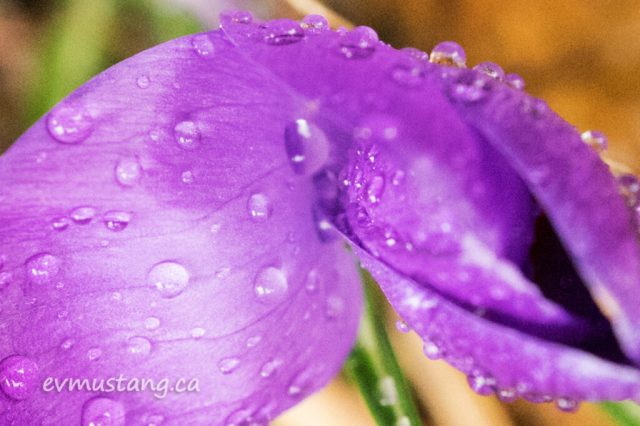 image of new crocus with drops of rain