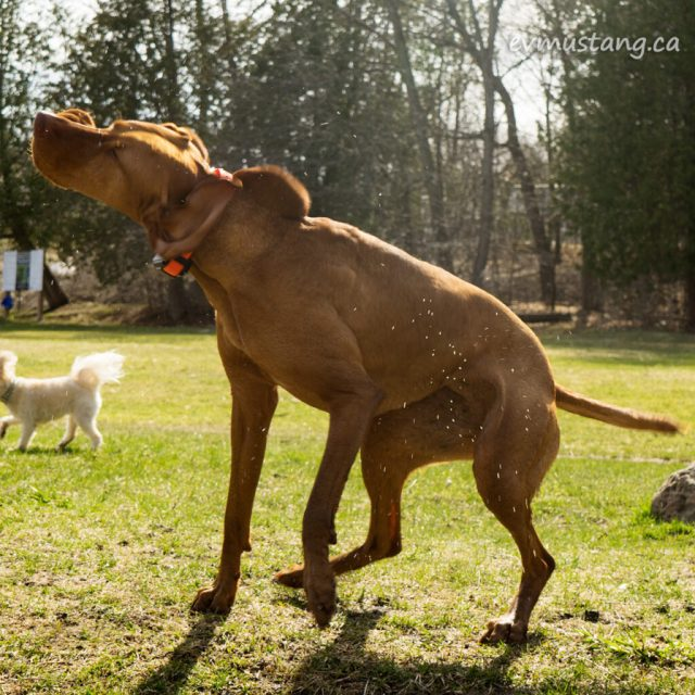 image of dog on a spring day vigorously shaking water off his back