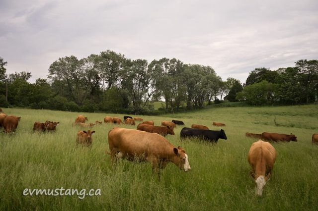image of cows and calves in long grass in a field under a motled grey and steel blue sky