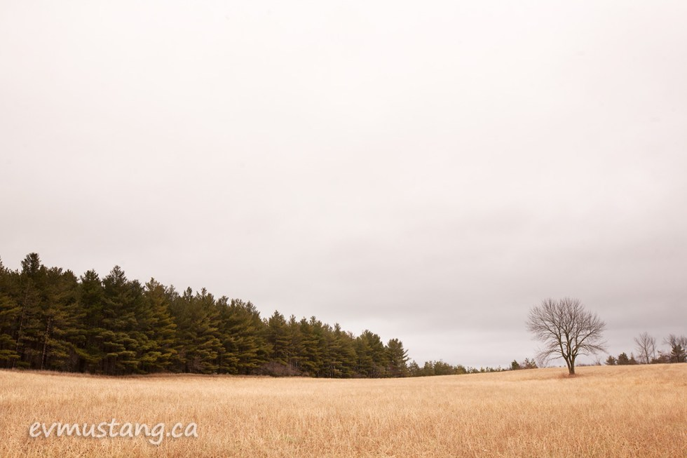 image of solitary tree in a field of long golden grass, a coniferous forest stretches to the left in the distance
