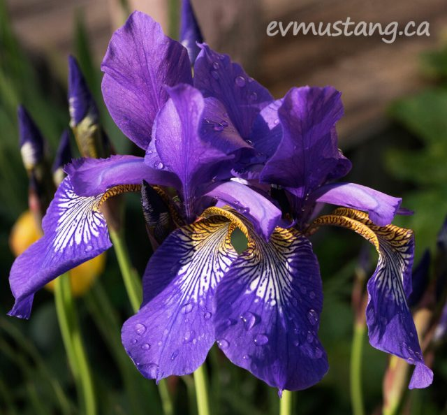 two deep purple siberian irises, tinted with yellow falls, embrace each other languidly. drops of rain water and tiger striping highlight the falls. the evening sun creates highlights and shadows emphasizing their geometry.