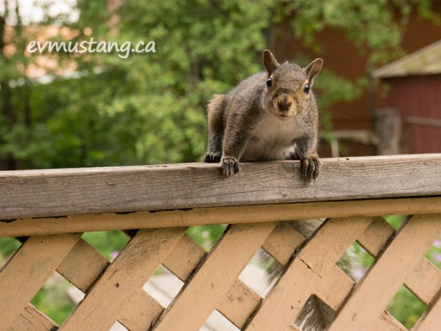 """image is a photograph of """"spats"""" the grey squirrel perched with all four feet on a porch railing looking directly into the camera with what looks like a curious smile. he has a white belly, grey fur with rusty-brown  tips. his paws have red-brown fur that look like spats."""