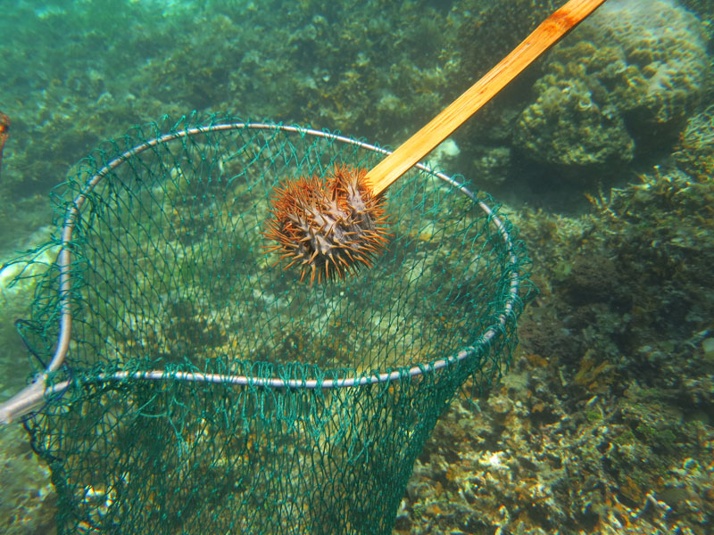 crown of thorns starfish malapascua philippines