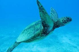 Manta Ray Night Dive Kailua Kona Hawaii
