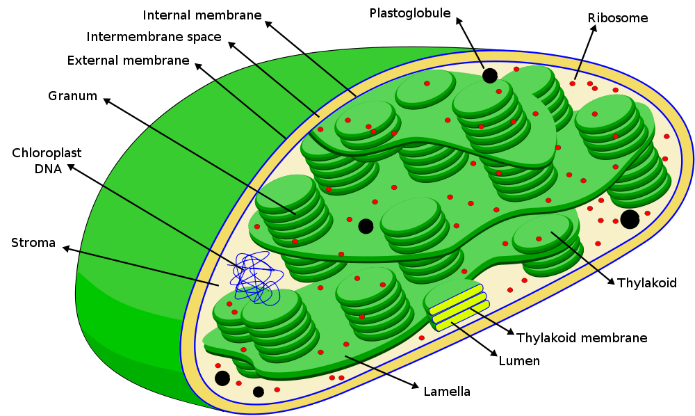 chloroplast diagram with labels trailer wiring 7 pin apbio chapter 10 1 one student to another 3 use both chemical symbols and words write out the formula for photosynthesis that indicates only net consumption of water
