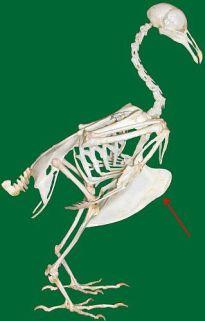 skeleton_bird_vogelskelett_sternum_wiki