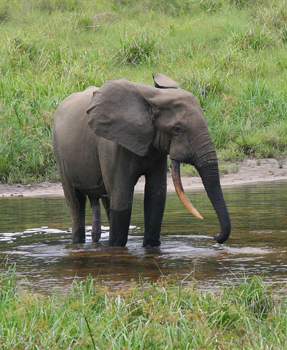 African_Forest_Elephant