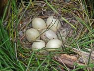 Platypus eggs