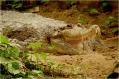 False Gavial Amsterdam Zoo
