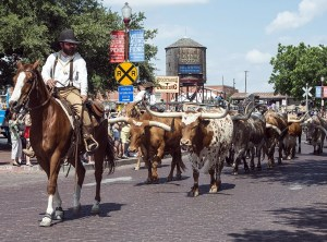 A cowboy on a horse and a lot of bulls following them - the type of entertainment you can enjoy after moving to Fort Worth
