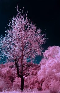 trees with pink blossoms against dark sky