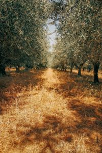 orchard with tree shadows