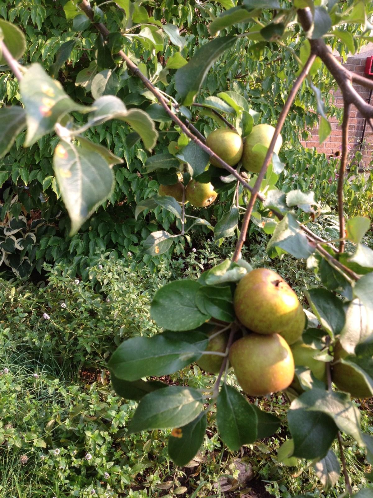 EB6627 apple