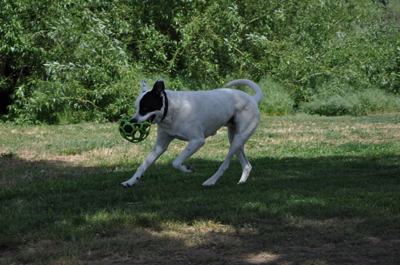 Ace with a ball in his mouth while playing fetch in a park on our full time RV adventure.