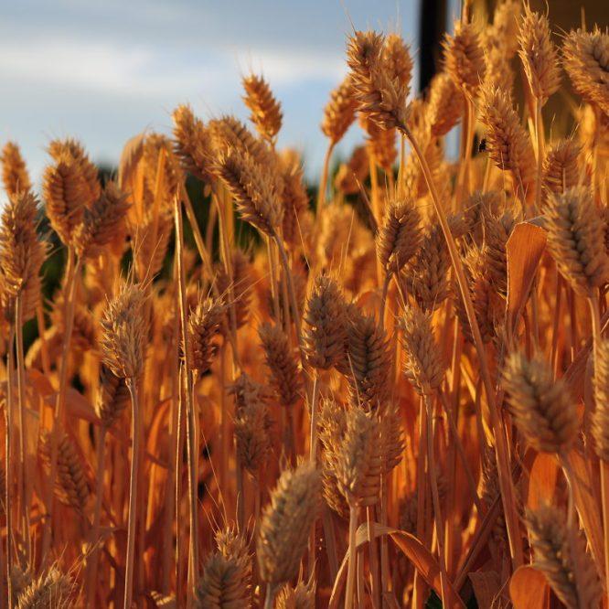 Eastern Washington Wheat Harvest-Seasonal Job