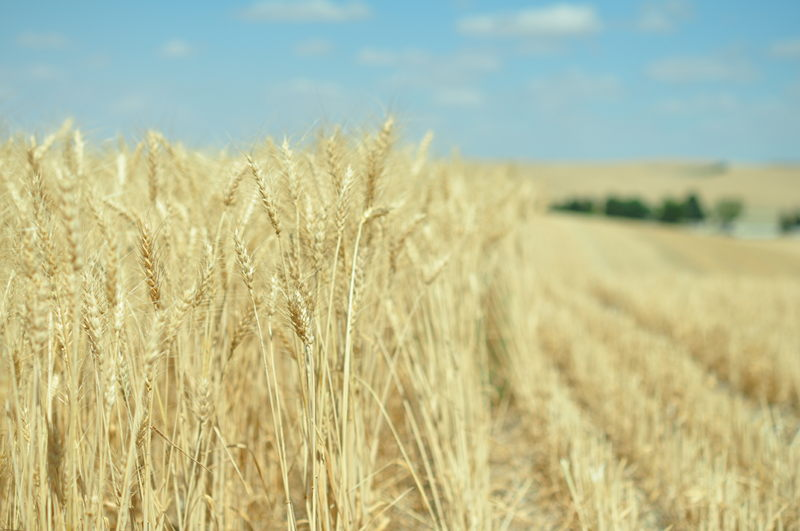 Close up of wheat standing next to wheat that has already been cut in a field were we are working on our full time RV living adventure.