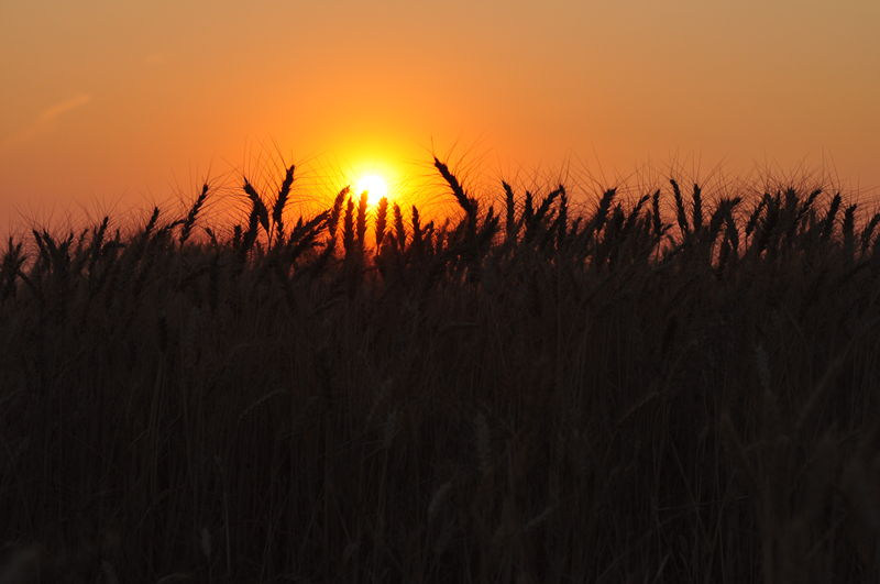 The sun setting over stalks of wheat as we travel the country living full time in the RV.