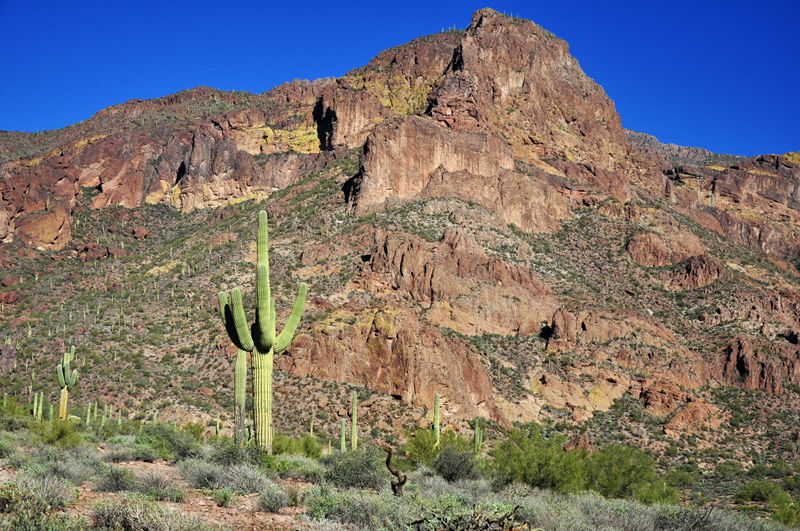 Saguaro cactus with hills in background near Apache Junction, AZ.
