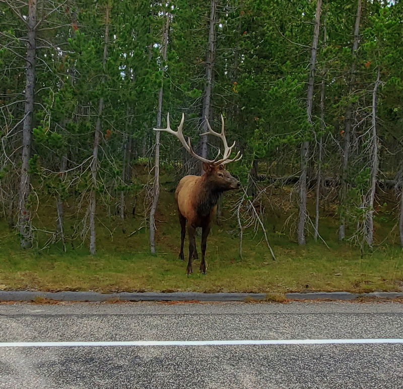 Large elk standing next to the road in Yellowstone.