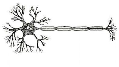 human brain diagram label typical thoracic vertebrae neuron