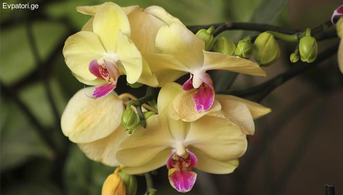 ორქიდეა - ულამაზესი ტროპიკული მცენარე