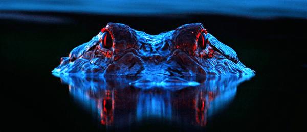 david-moynahan-eyeshine-alligators