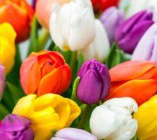 Tulip  XS