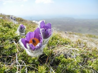 Pasque Flower – Word of the day - EVS Translations