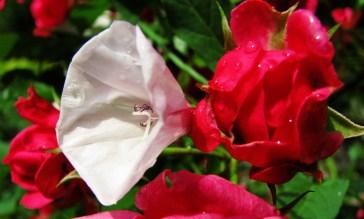 powój i róża