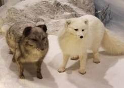 The Arctic fox (Vulpes lagopus)
