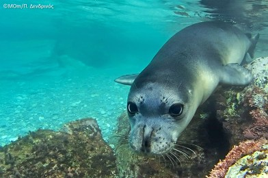 mom-mediterranean-monk-seal-2