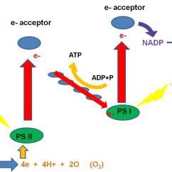Light Reactions Photosystem Diagram Wiring For Furnace Darwin1