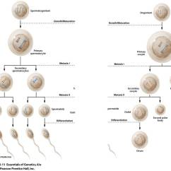Steps Of Meiosis Diagram Electrical Wiring Diagrams Symbols 11photo