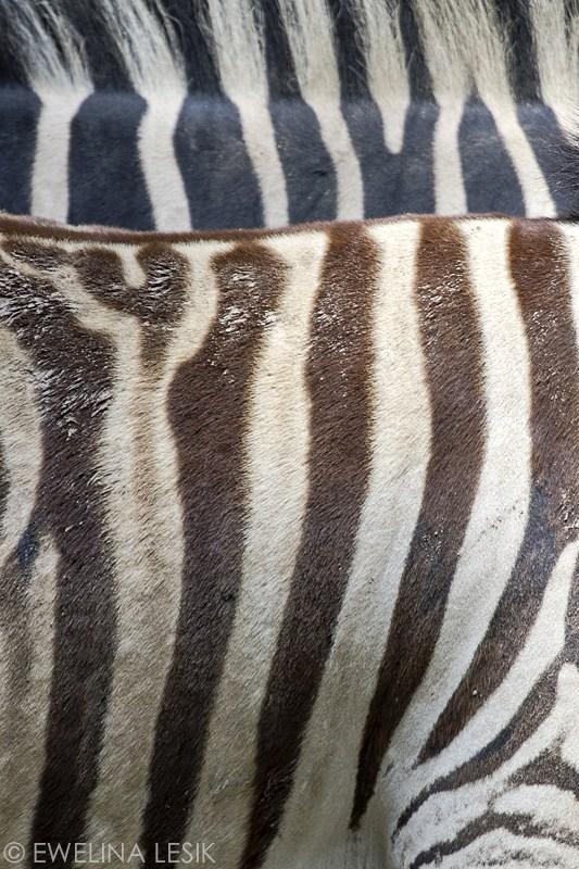 zebra-0072