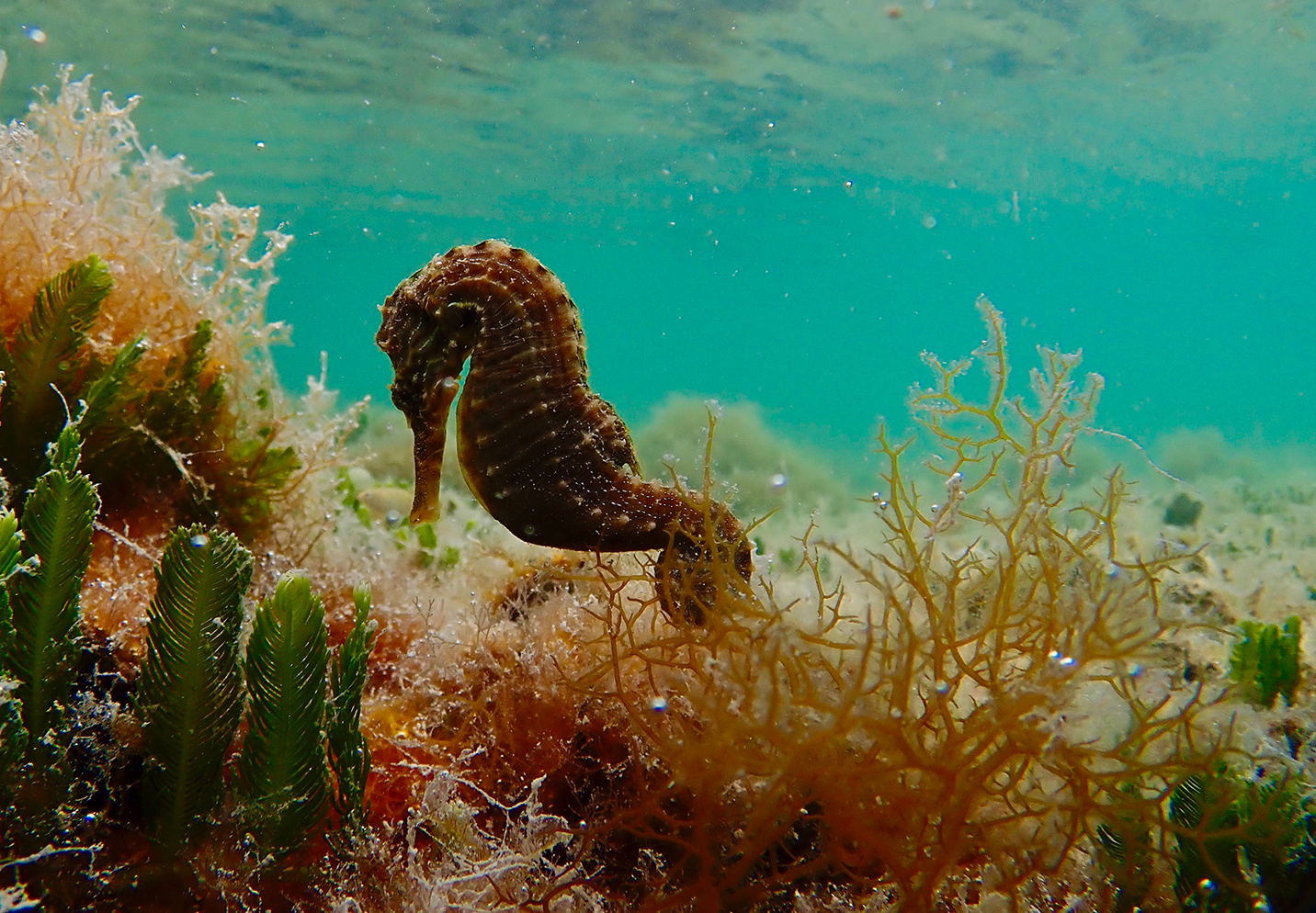 OPINION: Sea horse appears once again in North Bimini Bay