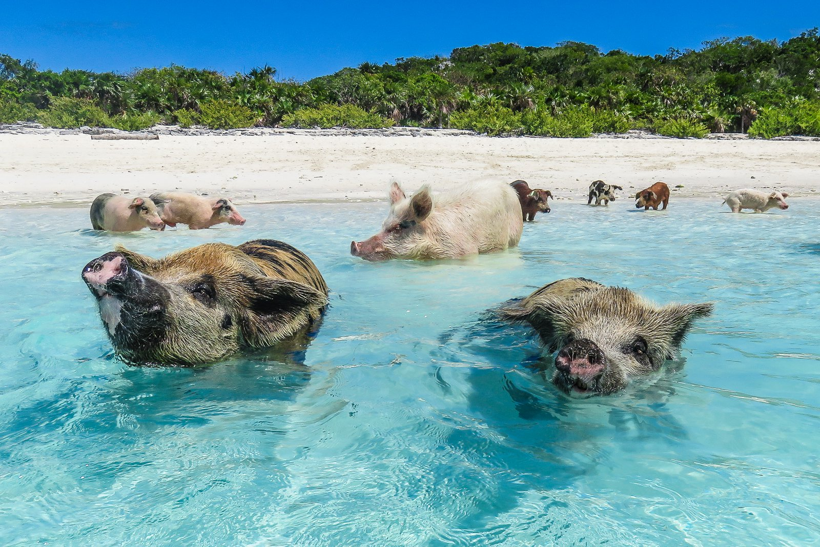 World famous Swimming Pigs used as a marketing tool