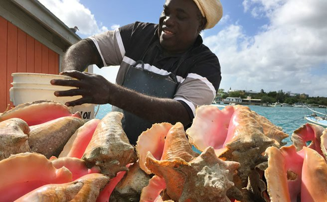 Survey shows strong public support for closed conch season