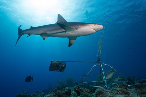 Bahamas praised for shark conservation leadership