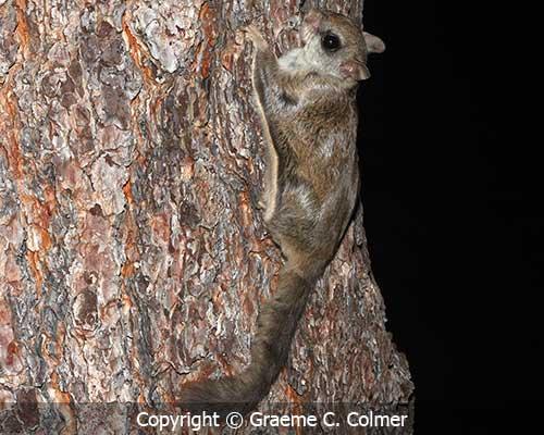 Northern flying squirrel Glaucomys sabrinus