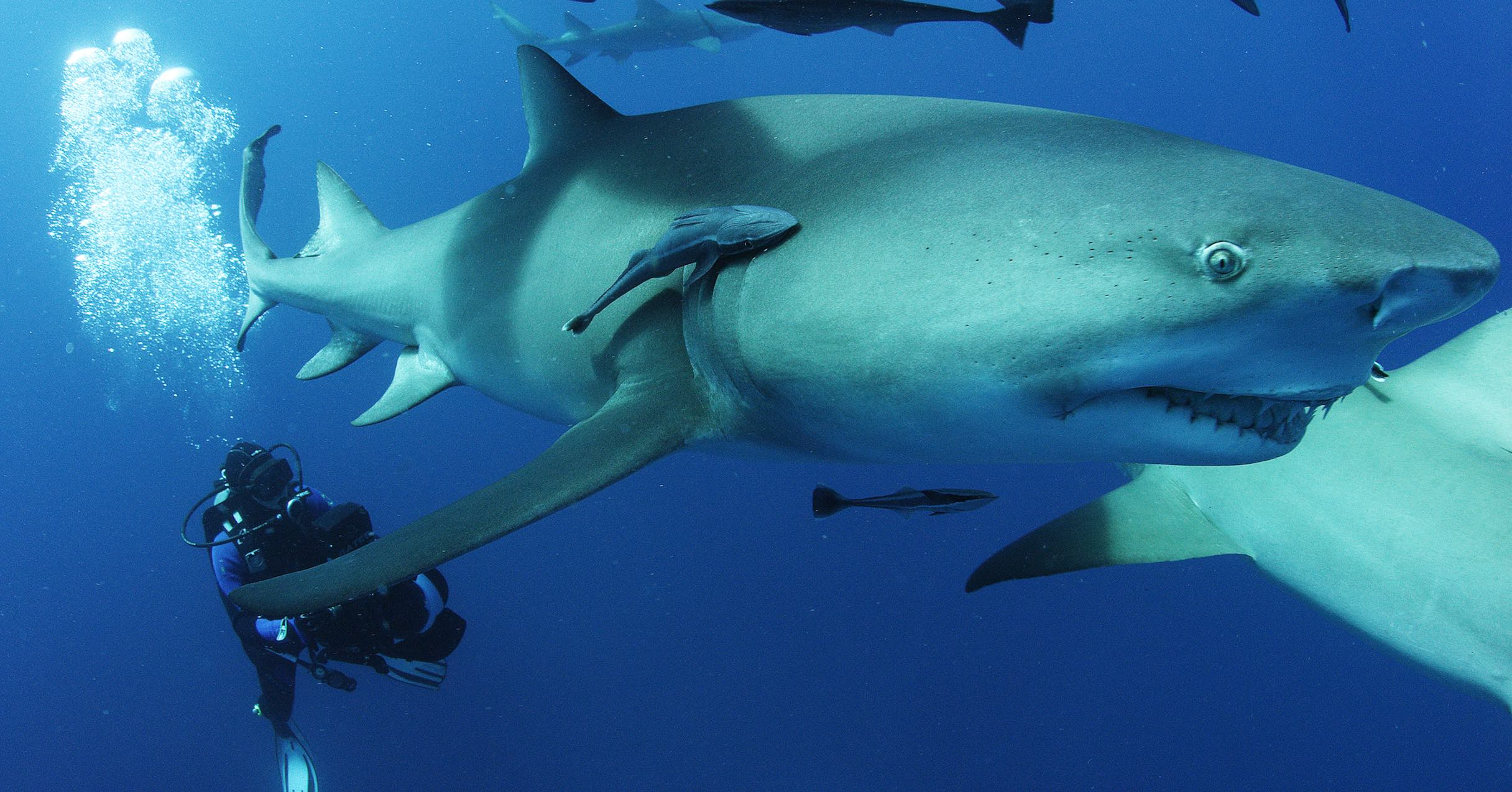 sharkwater extinction shark great white
