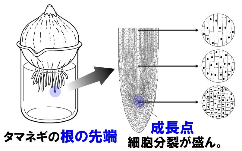 【中3理科】細胞分裂と生物の成長のポイント