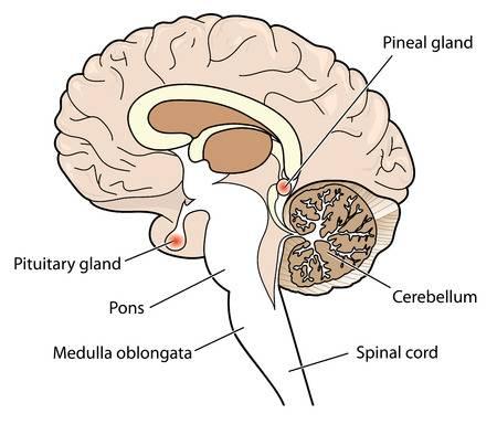 पीयुषी ग्रंथि (Pituitary Gland)