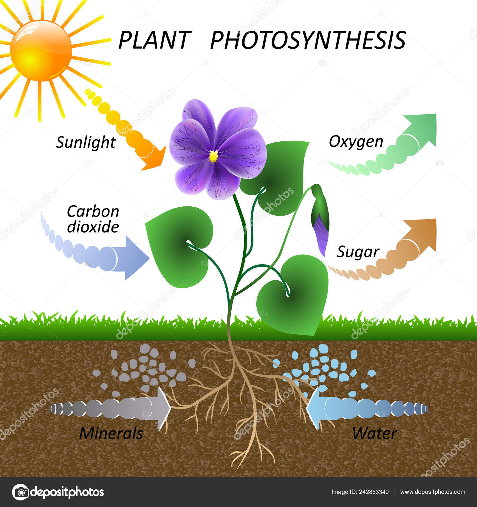 Diagram Of Photosynthesis